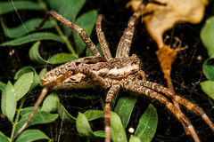 Wolf spider is resting on the net Stock Images
