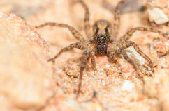 Wolf Spider. On a Rocky Ground Stock Photography