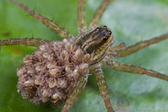Wolf spider with spiderlings on its back Royalty Free Stock Image