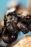 Wolf Spider spindlar, Pardosa Sp Royaltyfria Bilder