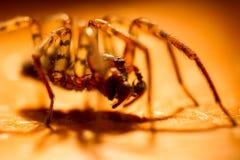 Wolf spider. Stalking in golden light Stock Photo