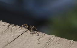 Wolf Spider Standing auf einem Abgrund Stockbilder