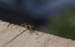 Wolf Spider Standing on a Precipice Stock Images