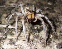Wolf Spider Sucking Liquified Juice de Shell de proie images libres de droits