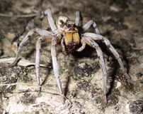 Wolf Spider Sucking Liquified Juice van Shell van Prooi royalty-vrije stock afbeeldingen
