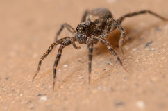 Wolf Spider. Tiny Wolf Spider Crawling on the Ground Royalty Free Stock Image
