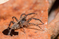 Wolf Spider. Tiny Wolf Spider Crawling Through a Whole in a Leaf Stock Photo