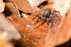 Wolf Spider. Tiny Wolf Spider on a dead leaf Royalty Free Stock Images