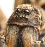 Wolf spider up close Stock Image