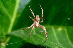 Wolf Spider in Web Stock Image