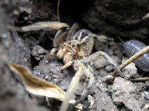 Wolf spider. Macro photography. Wild nature. Arachnid Stock Images