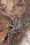 Wolf spider on wood Royalty Free Stock Image