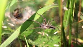 Wolf Spiders - emparejándose metrajes