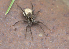 Wolf spiders (lat. Lycosidae). A family of developed fast and strong spiders, ranging in size from 1 to 40 мм.Эти spiders are not weave webs Stock Photos
