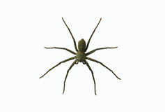 Wolf spiders LYCOSA SP. Royalty Free Stock Photography
