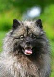 Wolf spitz Stock Image