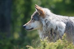 Wolf stalking in the forest. Close up of a wolf in the norwegian summer forest Royalty Free Stock Image