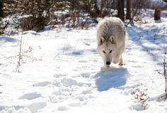 Wolf Stalking Prey. An Arctic wolf with her head low against the snow picking up scents for the hunt in a North Idaho forest Royalty Free Stock Photo