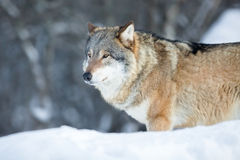 Wolf standing in the cold winter forest Royalty Free Stock Photos