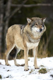 Wolf standing in the cold winter forest. One wolf standing in the woods a cold day between fall and winter Stock Photo
