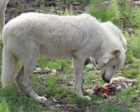 Wolf Standing Eating um coelho Fotografia de Stock Royalty Free