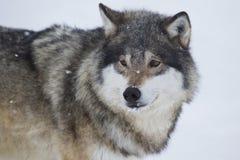 Wolf Standing en la nieve Imagen de archivo
