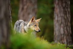 Wolf standing in forest. Closeup Wolf standing in forest in green grass focusing his attention to right side Stock Photography