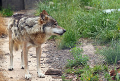 Wolf standing by grass. stock image