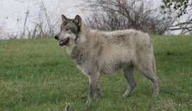 Wolf standing on green grass Stock Images
