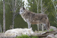 Wolf Standing Guard over his Mate Royalty Free Stock Photos