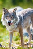 Wolf standing with his tongue out. Close up of a wolf in the norwegian summer forest. Standing with his tongue out and after eating Stock Image