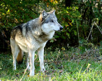 Wolf standing in an opening in the forest Stock Images