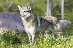 Wolf standing by river Stock Photos