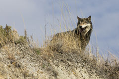Wolf standing in sage grass Stock Photography