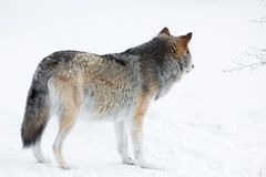 Wolf standing in the snow Royalty Free Stock Image
