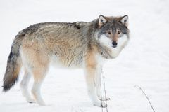 Wolf standing in the snow Stock Photo