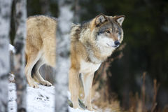 Wolf standing in the snow Royalty Free Stock Images