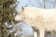 Wolf Standing In The Trees arctique Image libre de droits