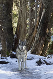 Wolf Standing Among Trees In Winter Forest Royalty Free Stock Photography