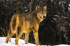 Wolf Standing in Wet Snow. A wolf standing in a wet snowstorm Royalty Free Stock Photo