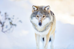 Wolf stands in beautiful and cold winter forest Stock Image