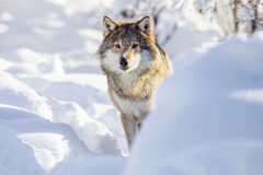Wolf stands in beautiful white winter snow Royalty Free Stock Images