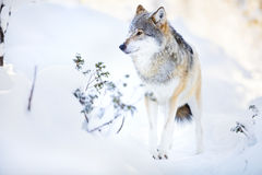 Wolf stands in beautiful winter forest Stock Images