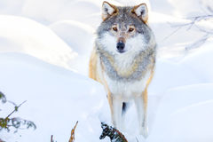 Wolf stands in beautiful winter forest Stock Photos