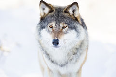 Wolf stands in beautiful winter forest Royalty Free Stock Photos