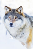Wolf stands in beautiful winter landscape Stock Images