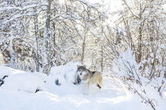 Wolf stands in the cold and beautiful winter forest Royalty Free Stock Image