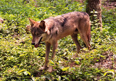 Wolf. Stands  in the forest and listens Royalty Free Stock Photo