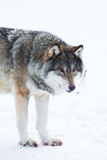 Wolf stands in the snow Royalty Free Stock Photo