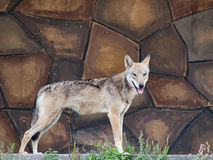Wolf stands on the stone wall background Royalty Free Stock Image